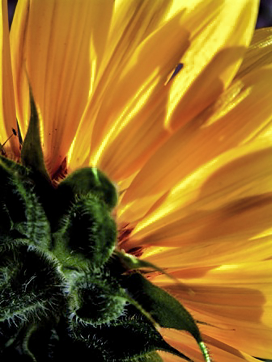 "Sunflower, 1998 Cibachrome, 14 x 11"" Courtesy of the artist"